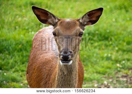 Wild animals / roe deer grazing in a meadow