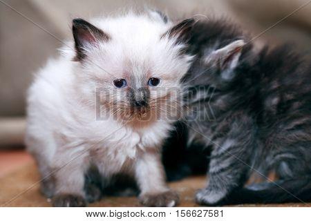 Kitty portrait. Closeup of nice small kitties on gray background