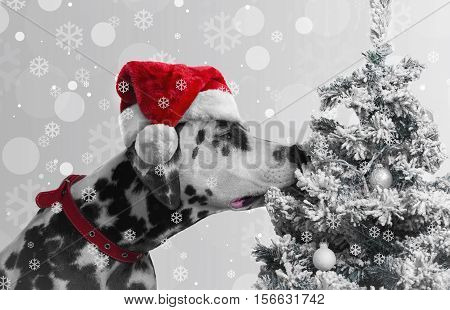 poster of Black and white spotted dog Dalmatian curious sniffing Christmas tree with toys covered snow balls. Dog looking Christmas gift to the tree. On the dog red Santa Claus cap. Christmas snow background.