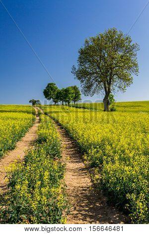 Village Road Between The Field Of Oilseed Rape
