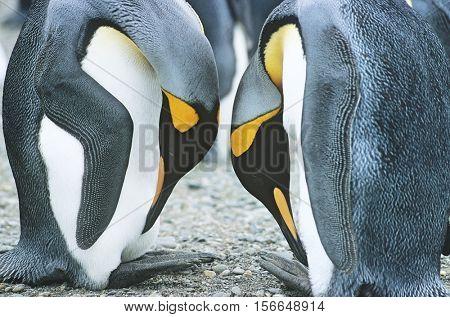 Pair of Penguins head to head