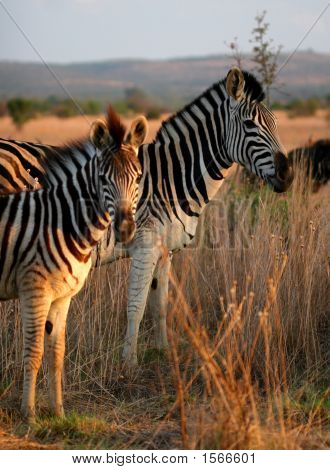 Zebra Family  Portrait In Game Reserve With Beautiful Mane