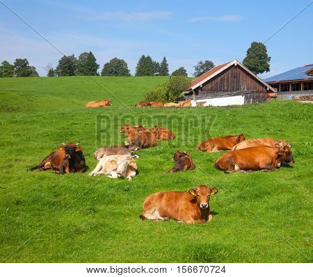 Herd of brown cows resting at a pasture on a sunny summer day with cattle farm in background