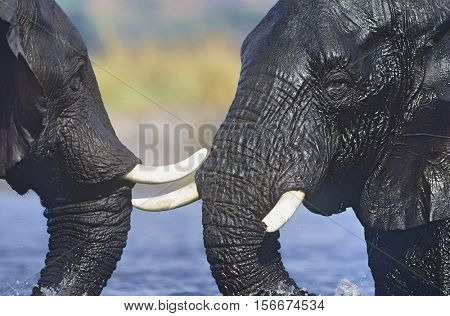 Two African Elephants (Loxodonta Africana) bathing at waterhole