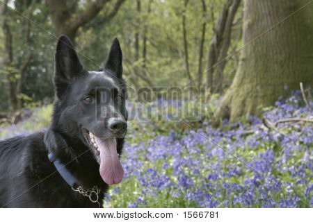 German Shepherd With Bluebells