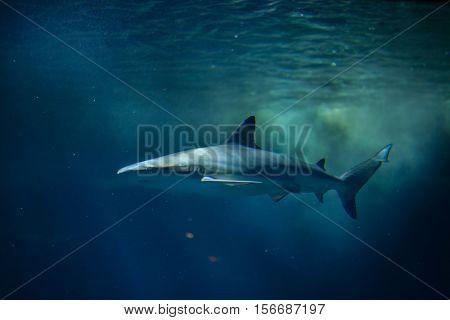 Blacktip reef shark (Carcharhinus melanopterus). Marine fish.
