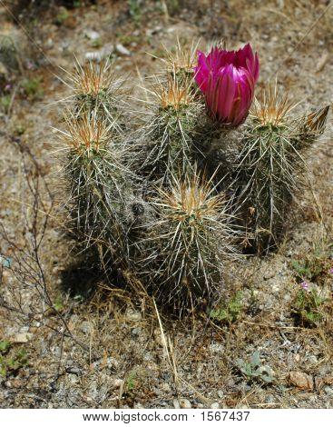 Cactus Flower 112