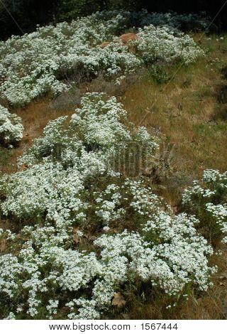 White Flower Field 159