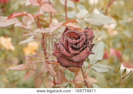 Dry Deep red rose in autumn garden. Lonely rose flower dying in fall, a lot of space for text. Selective focus. Vintage color. Wilted roses in autumn garden. Red roses is dying blooming season is over