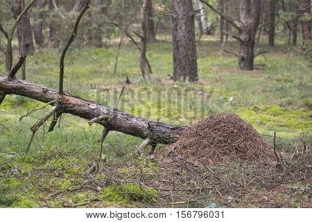 Red wood ant anthill - Formica rufa, nature photo