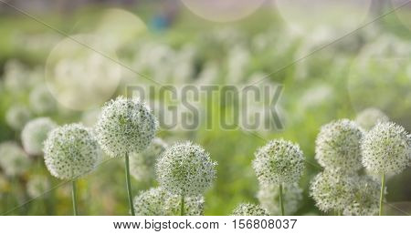 Beautiful White Allium circular globe shaped flowers blow in the wind. UHD