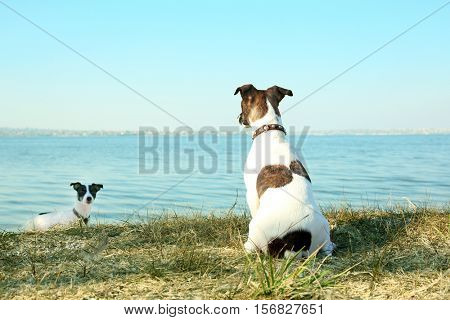 Funny Jack Russell terriers near river on sunny day