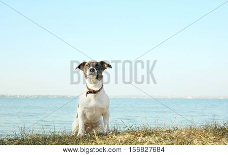 Funny Jack Russell terrier near river on sunny day