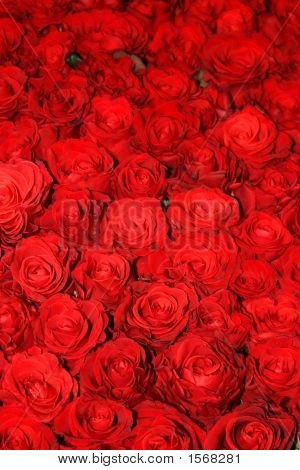 Beautiful Red Rose Flowers