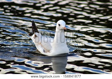 A Black Headed gull in first winter plumage