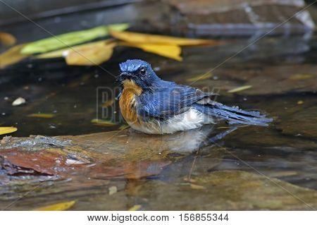 Tickell's Blue Flycatcher Cyornis tickelliae Male Birds Shower
