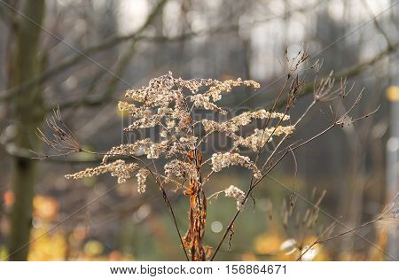 sear european goldenrod (Solidago virgaurea) and some other plants in autumn
