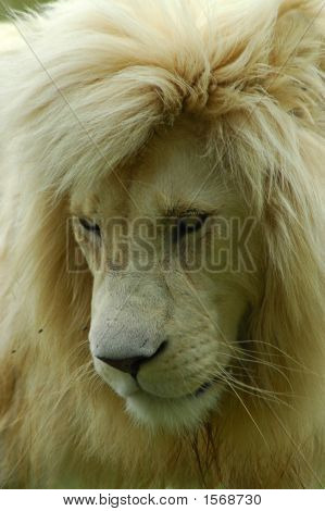 White Lion Predator