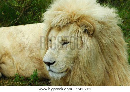 African White Lion Head Portrait