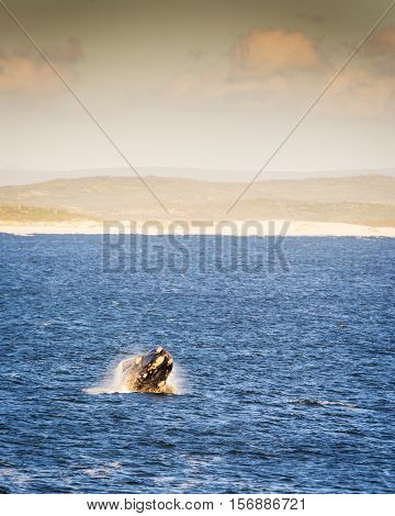 Southern Right Whale At Sunset