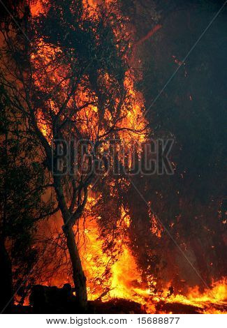Eucalyptusbomen in brand