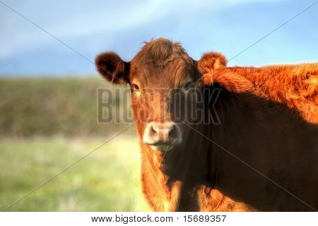 A cow in a field with a blade of grass in her mouth