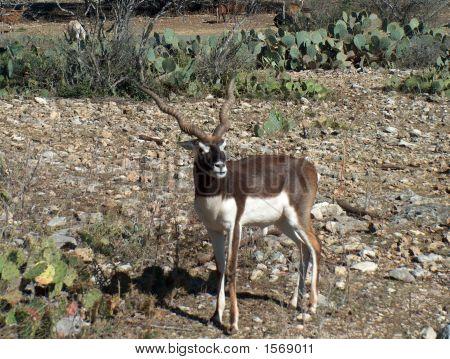 Baby Blackbuck Antelope Deer