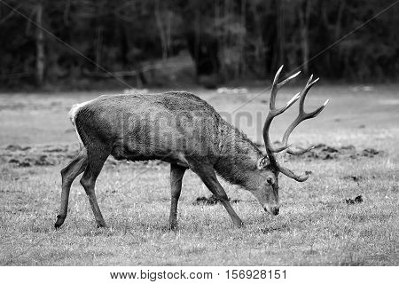 Male deer grazing grass in the meadow next to the forest.