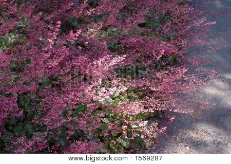 Heuchera Flowers In Shade