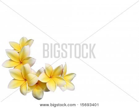 Yellow plumeria flowers framing space for copy