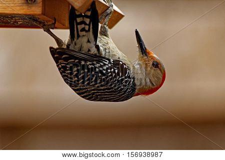 A Red-Bellied Woodpecker clings to a Suet bird feeder.