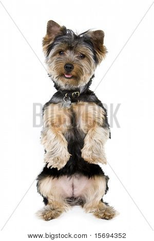 Adorable yorkie sitting up isolated on white