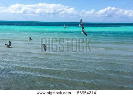 Black White and Grey Sea Birds Tern Gulls Soaring over Turquoise Water Nature Background carrying food