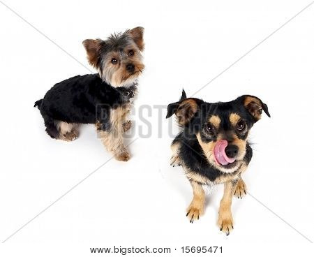 Two dogs isolated on white