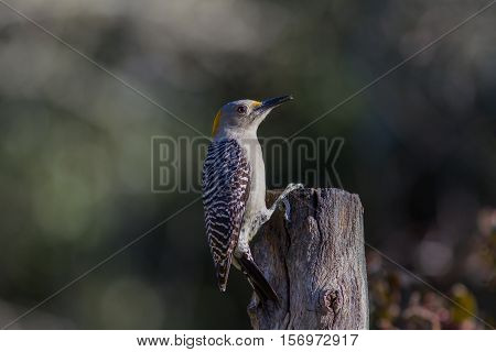 Golden-fronted woodpecker on top of dead tree looking for suet meal.