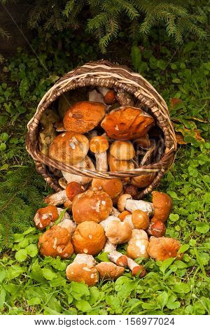 Beautiful Landscape With Edible Mushrooms In Wicker Basket In Forest. White Mushrooms Boletus Edulis. Harvesting Mushrooms. Top View.