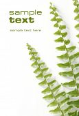 stock photo of fibonacci  - green fern - JPG
