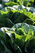 stock photo of romaine lettuce  - Green leaf lettuce close - JPG