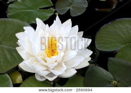 White Lotus Beauty