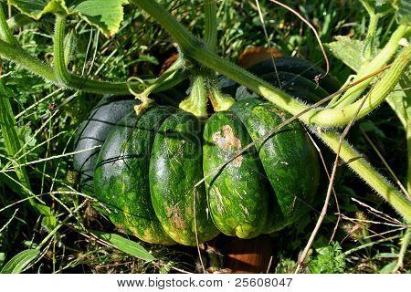 green pumpkin in field