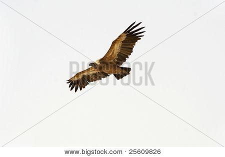 vulture soaring, sede boker desert, israel