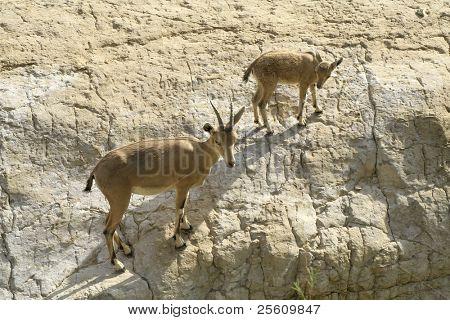 Steinbock im Bereich Toten Meer Wüste