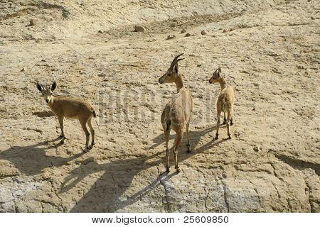 Steinbock in der Wüste des Toten Meeres-Bereich
