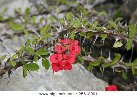 wild flowers and thorns growing on field walls stopping trespassers entering fields, annapurna, nepal