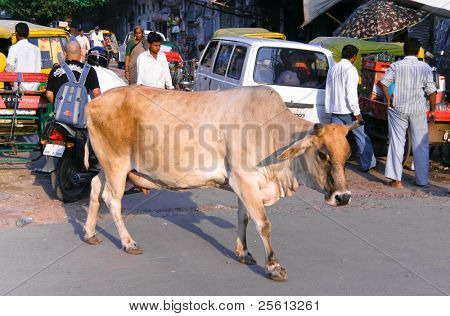 DELHI - SEPTEMBER 29: Cow on city street next to vehicles and people on September 29, 2007 in Delhi, India. Cows are holy in India, where one risks imprisonment for knocking one over.