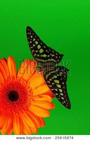 Graphium on orange gerber close up