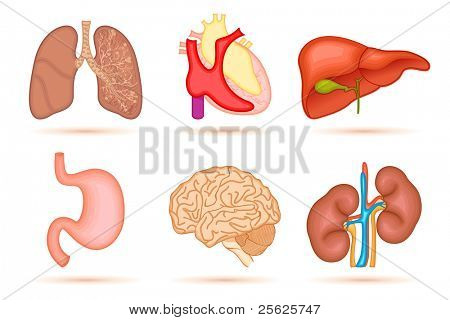 illustration of set of internal organ of human on white background