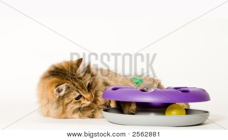 Young Cat Is Playing With His Toy