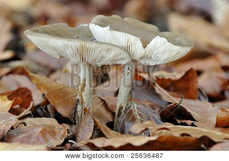 Smoky Cavalier Fungi