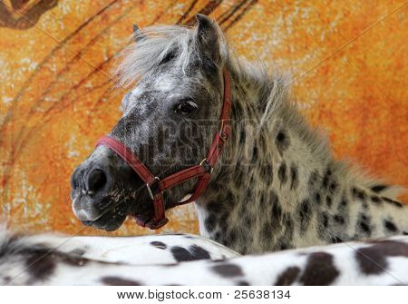 Appaloosa pony indoors portrait